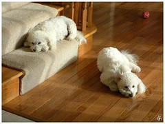 Lazy Sun Day (i ea sars) Tags: friends dog chien pet pets sun love co dogs animal puppy puppies sunday warmth sunny stretch moo hund together snoopy bichon frise bichonfrise doggy mascota gos bestfriends pes  lazyday