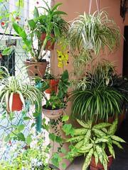 Our front yard garden with hanging pots of Chlorophytum comosum (Variegated Spider Plant) amongst others, shot Oct 20, 2006