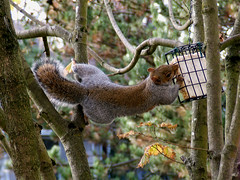 Cirque du Soleil - Squirrel Style (shesnuckinfuts) Tags: nature animal backyard squirrel wildlife acrobat furryfriday coolest animalplanet suet snacking kentwa sciuruscarolinensis easterngraysquirrel gotit november2006 animaladdiction shesnuckinfuts washingtonstatewildlife longstretch