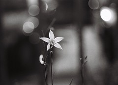 wahlenbergia (the doubtful guest) Tags: bw film canon native melbourne hp5 mygarden bluebell ilford northfitzroy wahlenbergia