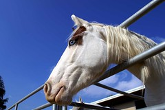 Blue Eyes Blue Skys (See El Photo) Tags: ranch blue sky 15fav horse animal bar fence wow hair outside nose nice eyes ride head farm bluesky clear smiley 200views fav stable 3f chin mane 4f 1f faved fourlegs longface 2f 222v2f