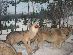 Wolves at the Rental Car Door (Cowtools) Tags: museum michigan taxidermy callofthewild gaylordmi dayupejune2006