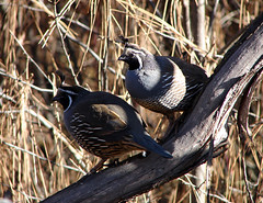 California Quail Bachelors