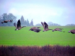 Five and a Half Geese in Flight ~ EXPLORED (Pixel Packing Mama) Tags: nature beautiful tag3 taggedout wow wonder amazing fantastic perfect tag2 niceshot tag1 lovely1 awesome great greatshot capture entitled congratulations flickrwow incredible brilliant 1025faves femalephotographers v1000 pixelpackingmama 999v9f nicepictures taggedoutthegraduatesofletsplaytag dorothydelinaporter views100 favorites10 worldsfavorite mavicafanclub i500 birdfanatics beautyisintheeyeofthebeholder wowphotos taggedoutproudofitset birdpix wonderfulunlimited centurianclub bonzag favoritedpixset ducksandgeesepool mostinterestingaccordingtoflickralgorithmset ducksandgeeseset canadageeseinflight tag1isalreadyherebutwayuponthecolumn interestingness25308nov06 tag1tag2arebothherebutfurtheruponthecolumn greatpixgallery10favespool canadageesepool views10001250pool willamettevalleyoregonpool commentedwithanicondirectorygroup finleynationalwildliferefugeset views1000pool cameraactionornotastilllifepool willamettevalleywildliferefugespool 1025favouritespool ducksandgeeseandswansohmypool uploadedsecondhalfof2006set chosenbyflickrexploreset fabulouspool obsessivephotography30perdaypool oversixmillionaggregateviews over430000photostreamviews