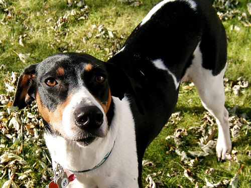 Flickr: Discussing Introduce yourself (and your hound(s)) in