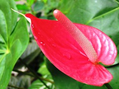 Anthurium andraeanum hybrid, in our garden Oct 2006