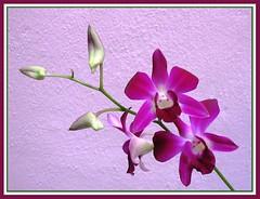 Dendrobium Deang Suree
