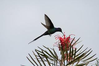 Beija-flor Tesoura - Swallow-tailed Hummingbird 073