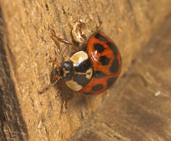 """Harlequin Ladybird (Harmonia axyridis) • <a style=""""font-size:0.8em;"""" href=""""http://www.flickr.com/photos/57024565@N00/295337622/"""" target=""""_blank"""">View on Flickr</a>"""