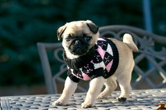 Modelling a sweater (Frustrated.Inc) Tags: pug
