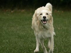 Miesha (Padrone) Tags: goldenretriever interestingness retriever explore miesha smileofadog interestingness118 i500