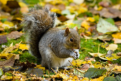 Fattening Up for Winter (Mark Klotz) Tags: food canada cute squirrels bc feeding fat nuts walnuts burnaby animalplanet sunflowerseeds squirrely markklotz fatsquirrel fatteningup