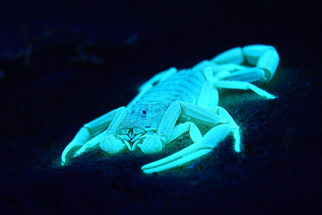 So...  apparently scorpions glow under UV lights.  Who knew?