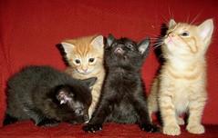 naughty 4 (Nicolas Valentin) Tags: black cute animals cat ginger 25fav cc500 kissablekat 5bestcat