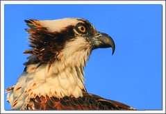 Osprey! (Java Cafe) Tags: bird nature fauna interestingness florida wildlife 100v10f raptor sanibel osprey pandionhaliaetus f15 pandion haliaetus 50v5f interestingness34 i500 explore19nov06 animalkingdomelite