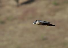 PEREGRINE FALCON Falcon peregrinus (beeater) Tags: birds australia falcon birdsinflight raptors birdsofprey avifauna falco australianbirds peregrinefalcon falcoperegrinus
