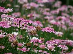 (Daniel Pascoal) Tags: flores flower nature public garden natureza flor jardim nosmoramosnoflickr camposdojordao danielpg