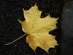 Even when it rains (PurpleGecko) Tags: autumn fall yellow germany leaf purple herbst sigma gelb gecko raindrop wassertropfen tropfen foveon sd9 blat x3f sigmasd9 purplegecko sigma5028ex