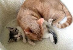 """I'll just lay my head down right here."" (Malingering) Tags: cats pets cute animals cat kitten feline milo kittens cuteness supercute cuteoverload bestofcats outofcontrolcute cutetothepointofillness cuteenoughtomakeyoupuke"