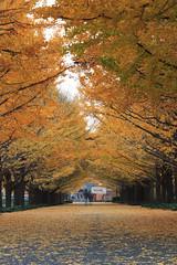 Row of Ginkgo (mrhayata) Tags: park city autumn leaves yellow japan geotagged tokyo blog ginkgo memorial couple path vista 日本 東京 銀杏 イチョウ tachikawa showa 東京都 カップル mrhayata geo:lat=357025658 geo:lon=1394012658