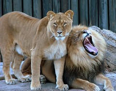 Does he really think I'm impressed? (hadowdancer) Tags: topv111 lion chloe karma animalplanet africanlion mufasa kriskroscontacts animaladdiction specanimal animalpals animalkingdomelite abigfave clevelandzoo112606 impressedbeauty