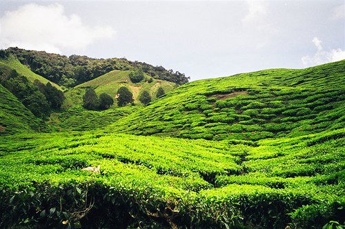 Malay Indian Tea Plantation Cameron Highlands