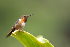 Scintillant Hummingbird (graspnext) Tags: bird costarica hummingbird selasphorus scintilla scintillanthummingbird selasphorusscintilla scintillant impressedbeauty
