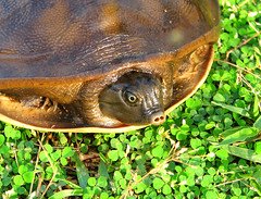 TERRAPIN (Felix Francis) Tags: life wild india nature animals fauna nose photography asia colours felix turtle wildlife kerala snout thrissur