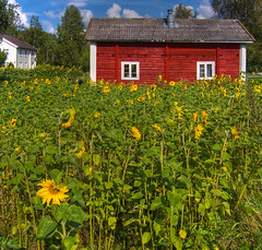 Solsikker / Sunflowers (Krogen) Tags: nature norway norge natur norwegen olympus c7070 noruega scandinavia akershus romerike krogen noorwegen noreg ullensaker skandinavia photomatix mogreina risebro