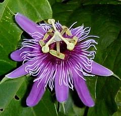 Passiflora amethystina (nonsmokinjoe57) Tags: passiflora amethystina