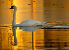 ... On Golden Pond... (Random Images from The Heartland) Tags: chris sunset bird birds southdakota swan bravo aves bailey relection muteswan chrisbailey specanimal animalkingdomelite chrisbaileyimages