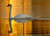 ... On Golden Pond... (Random Images from The Heartland) Tags: chris sunset bird birds southdakota swan bravo aves bailey relection muteswan chrisbailey specanimal animalkingdomelite chrisbaileyimages