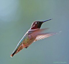 Anna's Hummingbird; Calypte anna (MissionPhotography) Tags: california fruits hummingbird orangecounty annas blend annashummingbird acai calypteanna monavie supershot featheryfriday avianexcellence