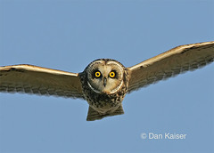 Short-eared Owl in your face by Dan Kaiser (dhkaiser) Tags: county dan jackson owl bottoms kaiser ewing ias abigfave sorteared