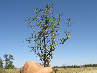 Alternanthera denticulata plant16 CWS
