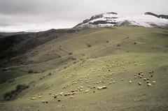flock of sheep (mm-j) Tags: autumn sheep shepherd song azerbaijan hills contax t2