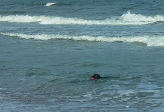 dog in water off amelia island (scleroplex) Tags: ocean leica blue red dog brown game water ball island surf waves play atlantic abc amelia digilux digilux1