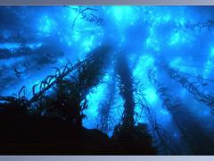 Underwater-kelp forest