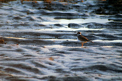 Kildeer in the mud