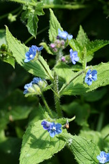 527640059 Green_Alkanet 2007-06-02_11:00:30 Oxford_Canal