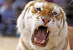tiger tiger burning bright (Khushroo Ghadiali) Tags: india tongue canon nose eos eyes sitting stripes teeth tiger royal bite fangs roar bengal 1dmark2 claws roaring specnature animalkingdomelite