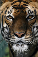 Bengal tiger (Feathers McGraw) Tags: india ilovenature quality stripes tiger large 2006 best tigers bengal viewed feathermcgraw