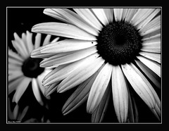 Were watching you (alonsodr) Tags: flowers bw flores topf50 nikon bravo bn 500v50f daisy margarita alonso alonsodr 123bw artlibre 123f50 thegoldenmermaid