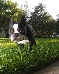 RAW Dogs 4  1904.png (blogjam_dot_org) Tags: park dog bostonterrier texas houston montrose menil peabo 77006 misterpeabody