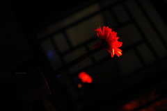 flor. (bianca.) Tags: red flower restaurant restaurante flor vermelho bronly