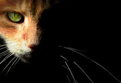 MyShadow (thiajmarie) Tags: orange nova cat catwomen helluva bestofcats aplusphoto cat1100 boc0207 yourbestshot catnipaddicts alwaysexc