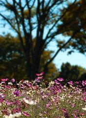 Cosmos (ajpscs) Tags: autumn nature japan season tokyo nikon d100 cosmos ajpscs