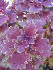 Coleus 'Purple Oak'