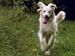 Happiest Dog in the Universe! (Padrone) Tags: retriever furryfriday goldenretreiver miesha animaladdiction happiestdogintheuniverse