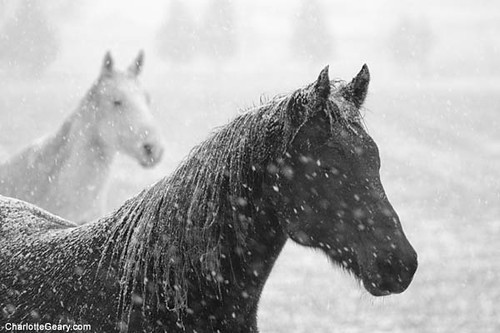 White and black horses in snow. www.charlottegeary.com